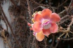 Pomarańczowy Sala kwiat na Cannonball Sal lub drzewie kwitnie w Tajlandia Fotografia Royalty Free