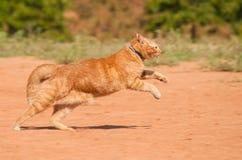 Pomarańczowy tabby kota bieg przez czerwonego piasek Obrazy Stock