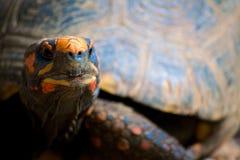 Pomarańczowy Tortoise Obrazy Stock