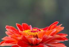 Pomarańczowy tsiniya Obraz Stock