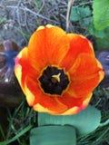 pomarańczowy tulipan Zdjęcie Stock