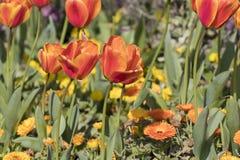 Pomarańczowy tulipan kwitnie Tulipa gesneriana Obraz Stock