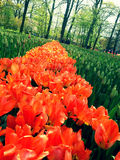 Pomarańczowy tulipanu pole w Keukenhof Zdjęcie Stock