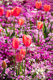 Pomarańczowy tulipanu portret Fotografia Stock