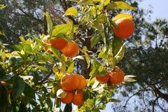 pomarańcze Obrazy Royalty Free