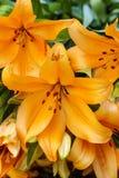 Pomarańcze lilly kwiat Obrazy Royalty Free