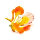 Pomarańczowa rozmaitość delonix regia, famboyant drzewo Obrazy Stock
