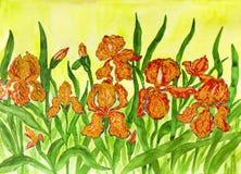 Pomarańczowi irysy Obraz Stock