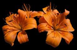 Pomarańczowi leluja kwiaty - Lilium Fotografia Stock