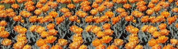 Pomarańczowi tulipany Fotografia Stock