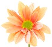 Pomarańczowy kwiat Obraz Royalty Free