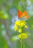 Pomarańczowy motyl na kwiacie Fotografia Royalty Free
