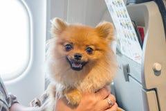 Pomaranian spitz för liten hund i en lopppåse ombord av nivån, selektiv fokus arkivfoto