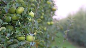 Pomares, árvores de fruto, maçãs verdes Foto de Stock