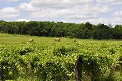 Pomares de Sauvignon Blanc Imagem de Stock