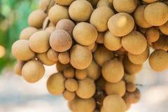 Pomares do Longan - longan dos frutos tropicais Imagem de Stock Royalty Free
