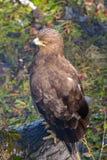 Pomarina de Lesser Spotted Eagle Aquila images stock