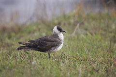 Pomarine skua or jaeger, Stercorarius pomarinus Stock Photo
