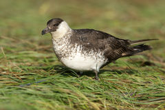 Pomarine skua or jaeger, Stercorarius pomarinus Royalty Free Stock Photo