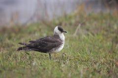 Pomarinejager of jager, Stercorarius-pomarinus stock foto