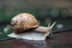 Pomatia ελίκων, κοινά ονόματα το Burgundy σαλιγκάρι, ρωμαϊκό σαλιγκάρι, εδώδιμο σαλιγκάρι Στοκ Φωτογραφία