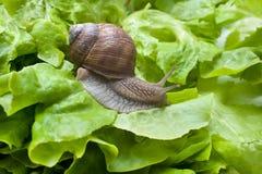 Pomatia ελίκων, Burgundy σαλιγκάρι στοκ εικόνα