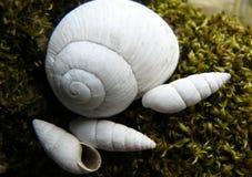 Pomatia винтовой линии Стоковая Фотография RF
