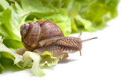 Pomatia d'hélice, escargot de Bourgogne Photos stock