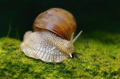 Pomatia d'hélice d'escargot de Bourgogne sur le plancher de forêt avec de la mousse Photographie stock