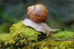 Pomatia d'hélice d'escargot de Bourgogne sur le plancher de forêt avec de la mousse Images libres de droits