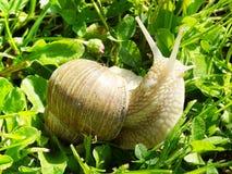 Pomatia da hélice do caracol em uma caminhada através da grama da mola imagem de stock