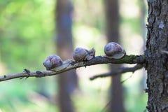 Pomatia da hélice dos caracóis na floresta Fotos de Stock