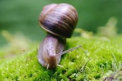 (Pomatia da hélice) macro do caracol comestível Imagem de Stock