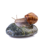 Pomatia de la hélice del caracol de jardín Foto de archivo