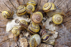 Pomatia snails. A bunch of pomatia snails on wood Stock Photography