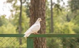Pomba branca bonita em uma caminhada em um Forest Park fotografia de stock