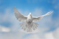 A pomba branca está voando Imagens de Stock Royalty Free