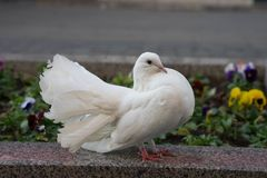 A pomba branca fluffed acima de sua cauda e enrugado foto de stock
