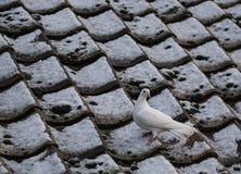 A pomba branca solitário vista empoleirou-se em um telhado coberto de neve da casa de campo no inverno fotos de stock royalty free