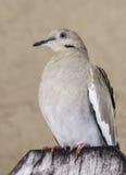 Pomba Branco-voada na cerca de madeira Imagens de Stock