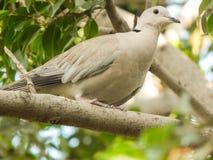 Pomba colocada um colar euro-asiática que senta-se em um ramo de uma árvore que olha algo silenciosamente Criatura bonita feita p foto de stock
