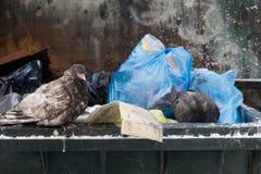 Pomba congelada que senta-se em uma lata de lixo Imagem de Stock Royalty Free