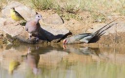 A pomba de riso e o pássaro enfrentado vermelho do rato bebem a água de um waterh fotos de stock