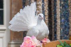 Pomba do branco - casamento Imagem de Stock Royalty Free