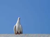 Pomba do branco que senta-se em um telhado imagem de stock