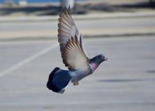 Pomba do pombo de rocha em voo imagens de stock