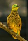 Pomba dourada que senta-se em uma árvore, ilha de Viti Levu, Fiji imagens de stock