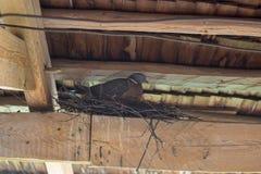 A pomba no ninho, na primavera, o pombo senta-se sob o telhado no ninho imagens de stock royalty free