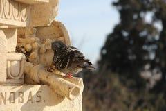 Pomba no parc de la Ciutadella Imagens de Stock Royalty Free