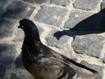 Pomba no pavimento e em sua sombra fotografia de stock royalty free